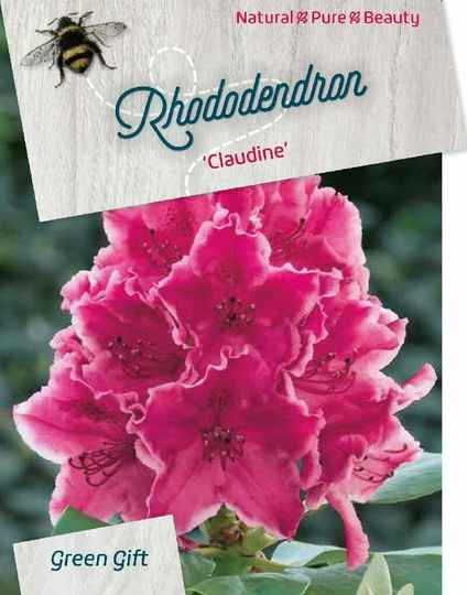 Rhododendron 'Claudine' Roze rood 60-80