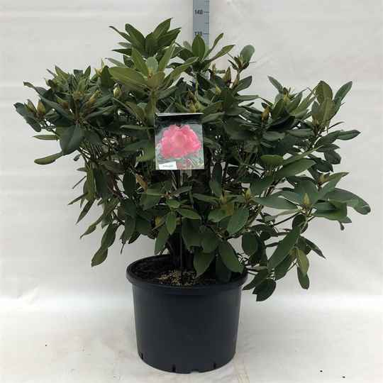 Rhododendron 'Anna Rose Whitney' pink 100-120