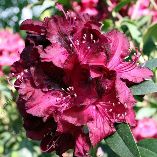 Rhododendron Marie Forte 40-50