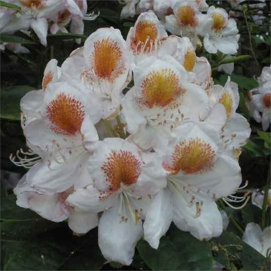Rhododendron Mrs. T.H. Lowinsky