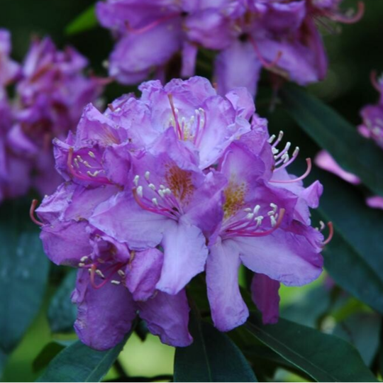 Rhododendron 'Ponticum' (rododendron)