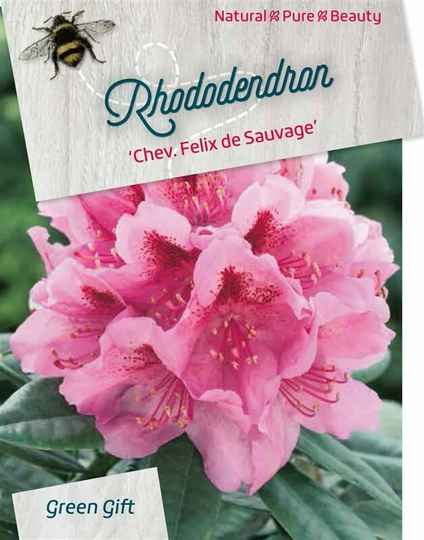 Rhododendron Chev. F. de Sauvage' paars/rood 40-50
