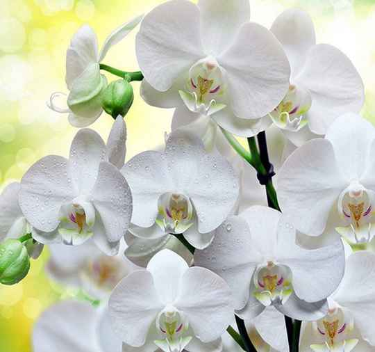 Witte orchidee's - Diamond Painting