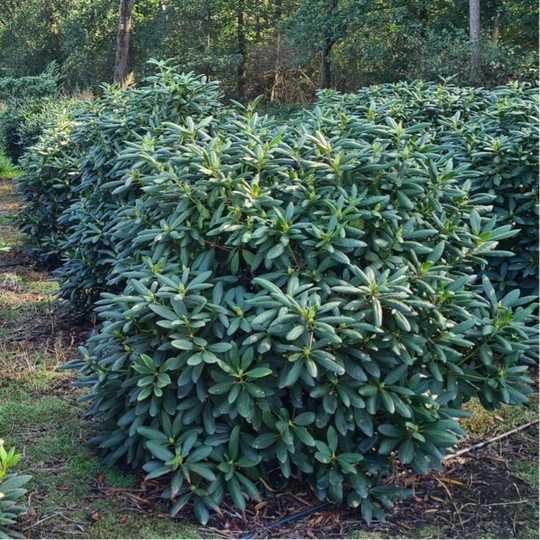 NIEUW! Solitaire grote Rhododendrons
