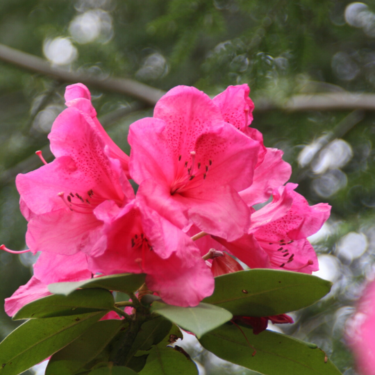 Rhododendron Anna Rose Whitney