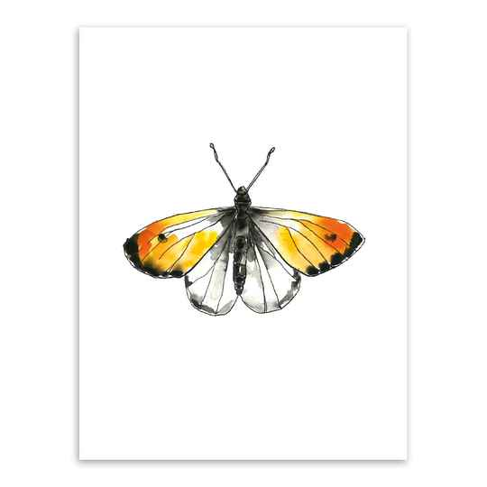 Print A4 - Butterfly, Orange tip